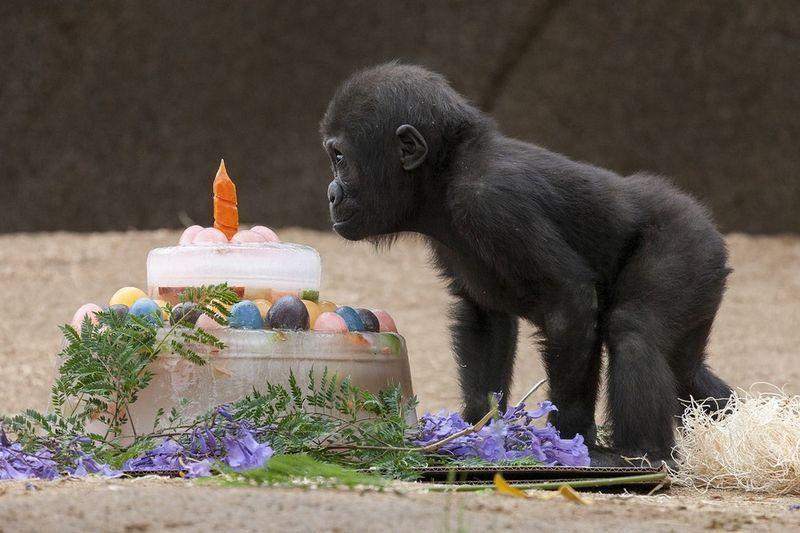 gorilla Monroe's birthday, San Diego Zoo