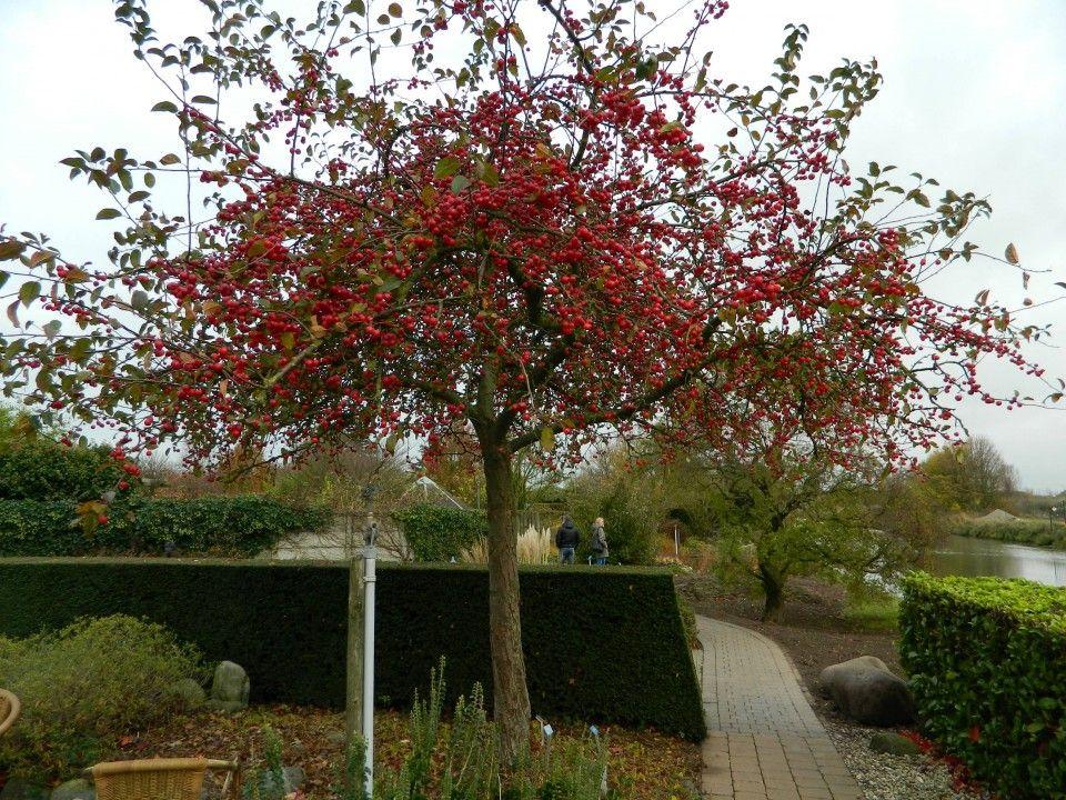afbeeldingsresultaat voor sierappel malus red sentinel tuin pinterest gardens. Black Bedroom Furniture Sets. Home Design Ideas