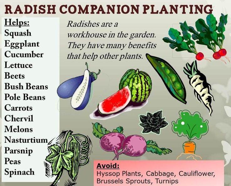 RHGS Outdoor, Radish Companion Planting