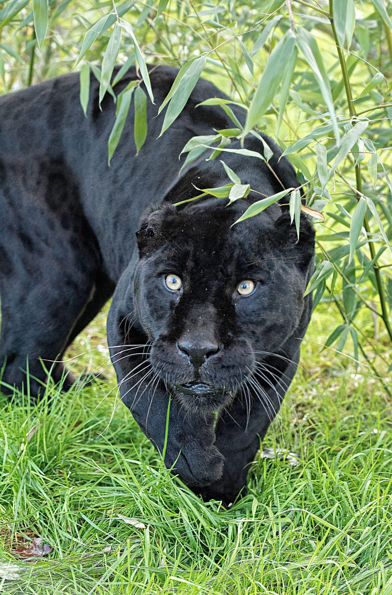 Black Jaguar Series - Taken at The Big Cat Sanctuary in Kent ...