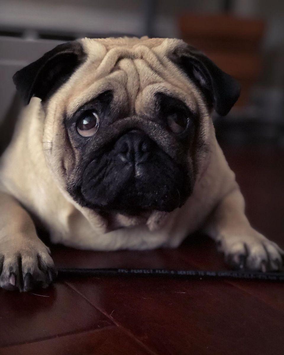Pin By Kip Stanley On Anime Neko In 2020 Pugs Pug Puppies Pug Dog