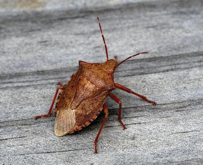 how to get rid of stink bugs pest control advice pinterest stink bugs. Black Bedroom Furniture Sets. Home Design Ideas