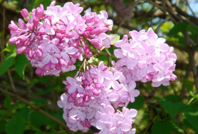 фото сирени | Сирень, Цветы, Цветущие кустарники