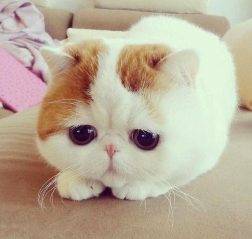 Resultado de imagem para chat le plus mignon du monde