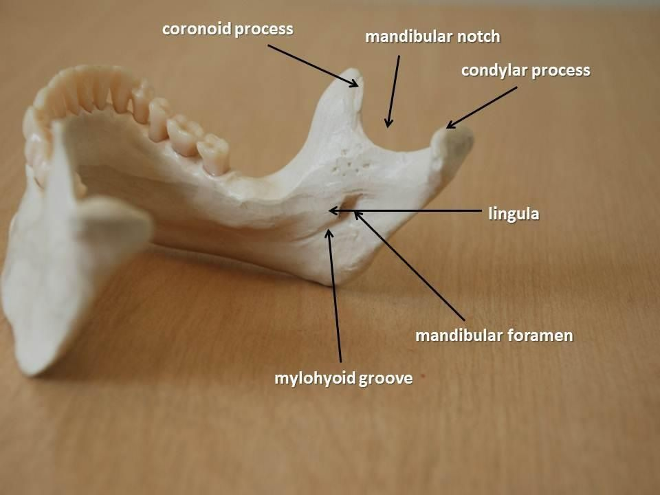 Anatomy of the mandible: mandibular notch, condylar process, lingula ...