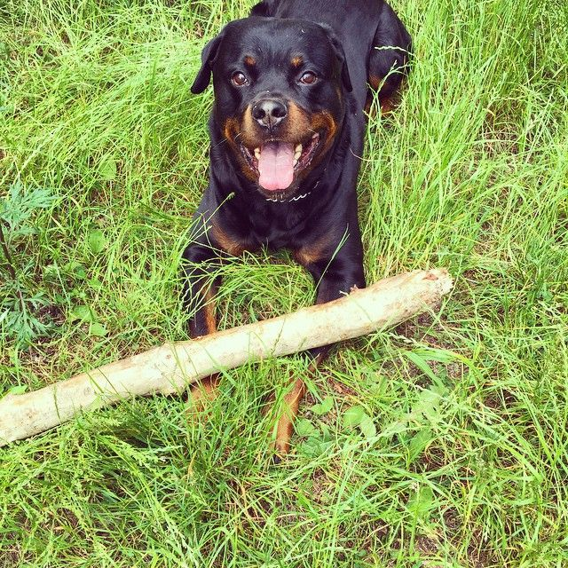 Tiny stick for a tiny #rottweiler #rottie #dog #dogsofinstsgram #rottis #rottweilersofinstagram