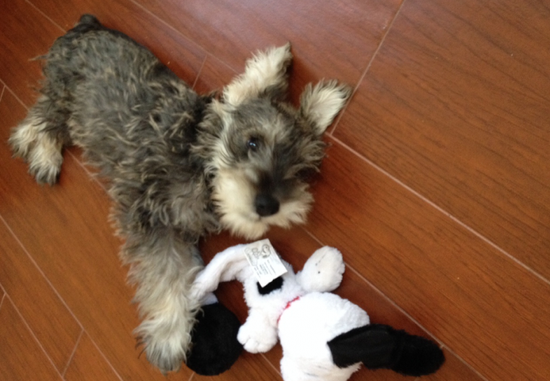 The Best Dogs For Apartment Living Schnauzers Pinterest