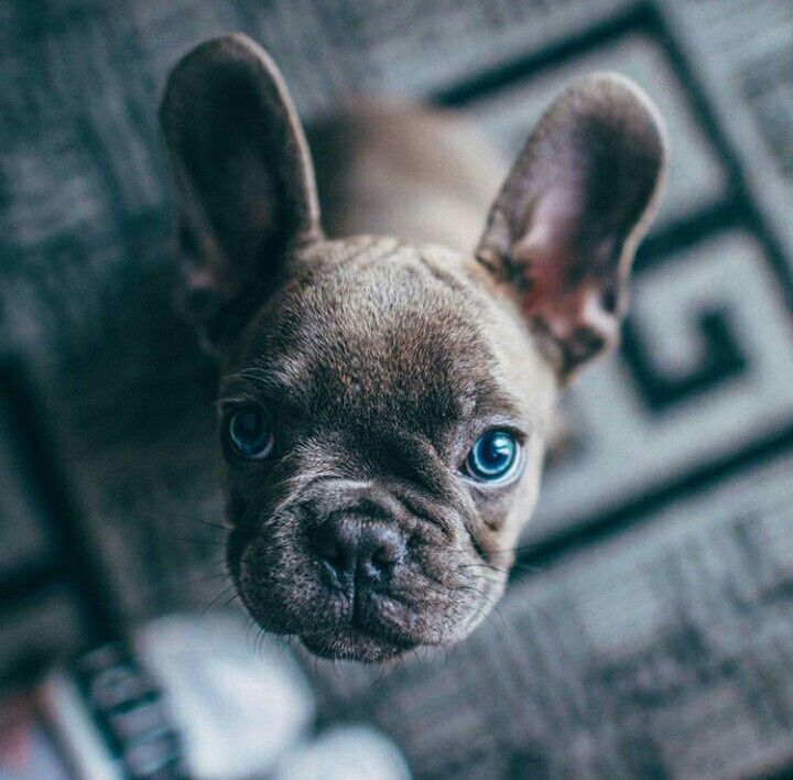 Blue Eyed Doggy Cutest Cute Bulldog Puppies French Bulldog