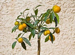 kumquat baum
