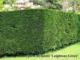 The heart of Leylandii