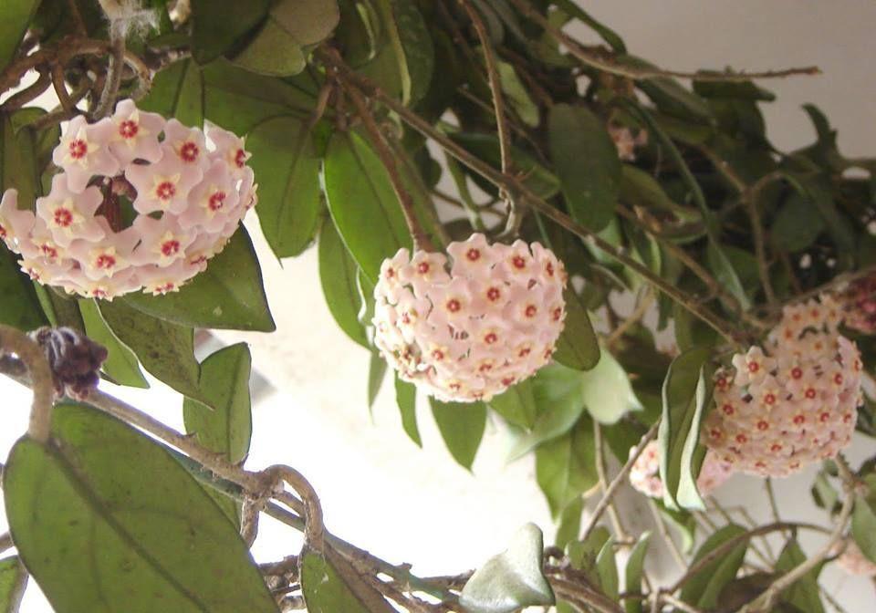 Mum çiçekleri