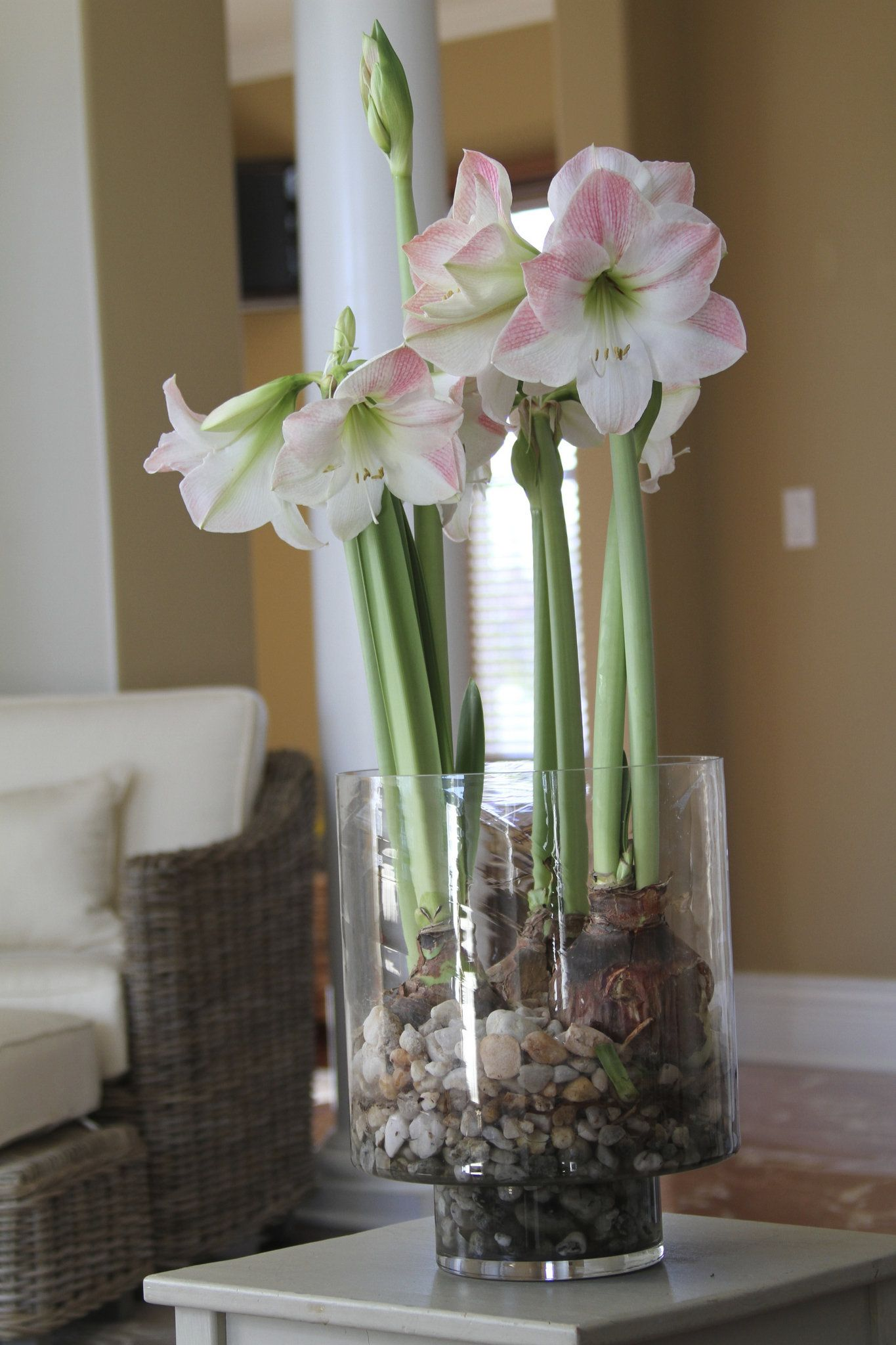 Forcing bulbs how to grow flowers in water this winter for Amaryllis plantation en pot