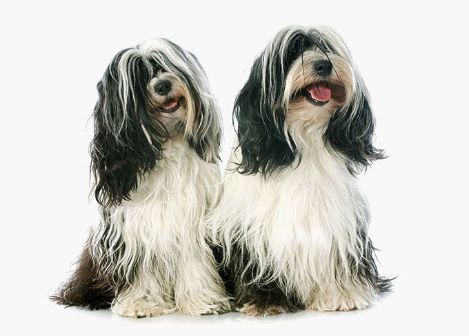Tibetan Terrier Dog Breed Information Pictures Characteristics Facts Dogtime Terrier Dog Breeds Dog Breeds Pictures Dog Breeds