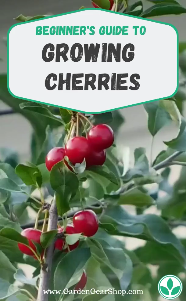 Growing Cherry Trees Video Cherry Trees Garden How To Grow Cherries Growing Cherry Trees