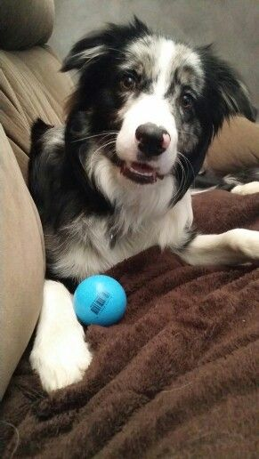 Boarder Collie...he loves his ball more than life itself