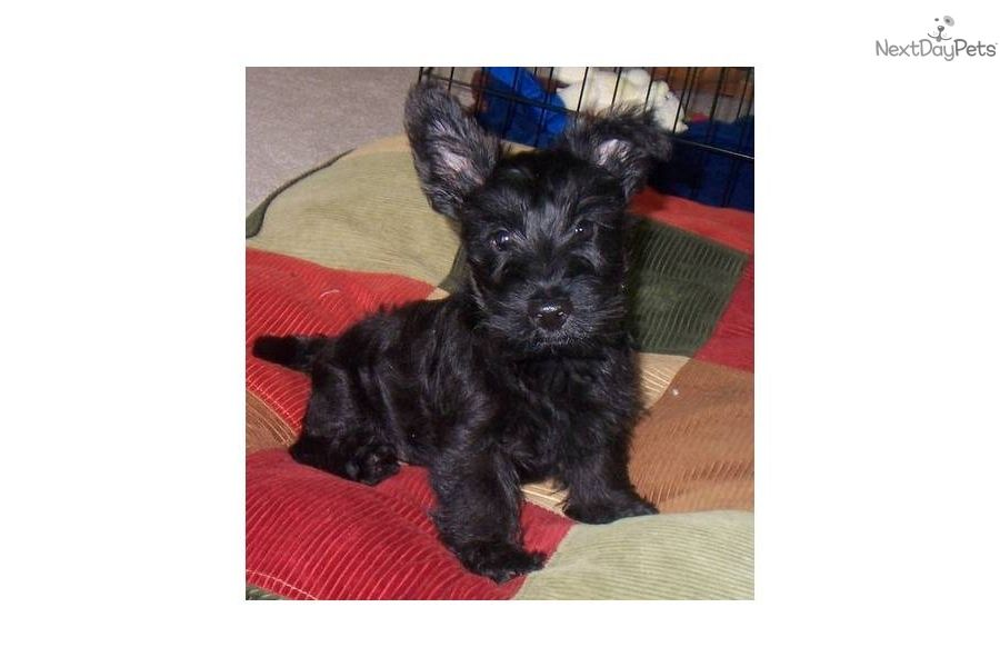 Scottiespuppies Scottish Terrier For Sale For 500 Near Toledo