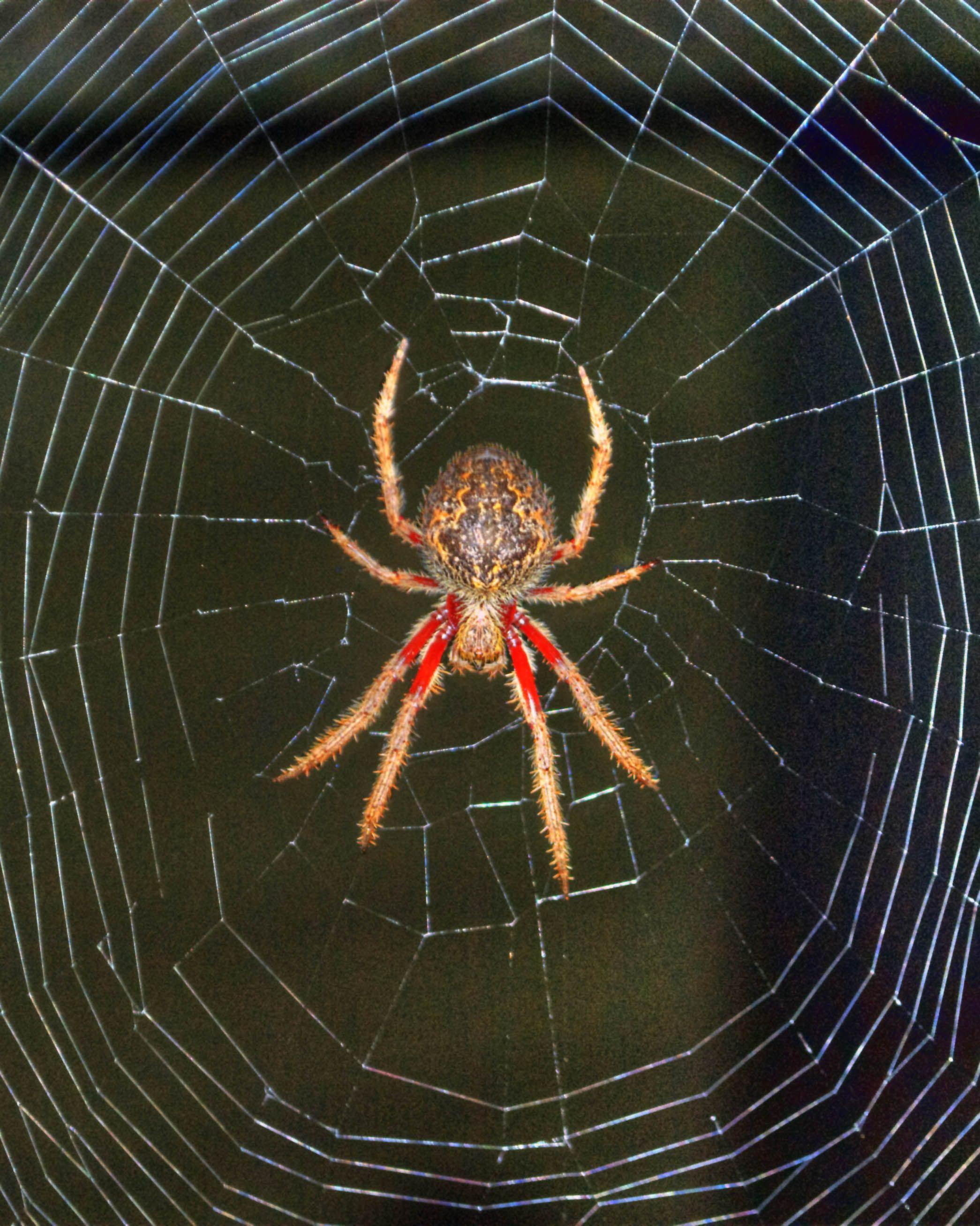 Australian garden orb weaver spider Eriophora transmarina