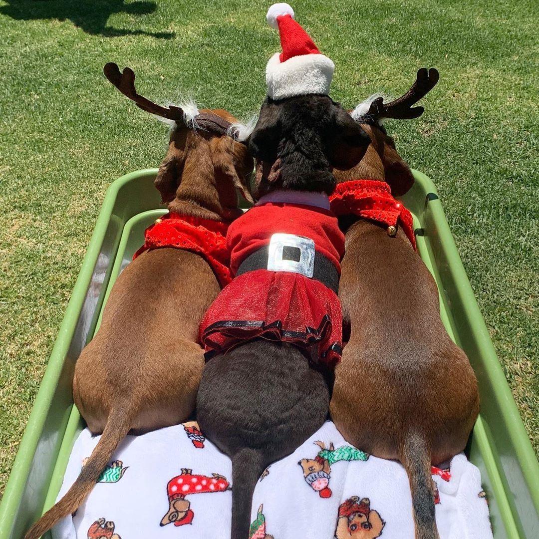 Christmas Sausage Dog Christmas Dachshunds Christmas ...