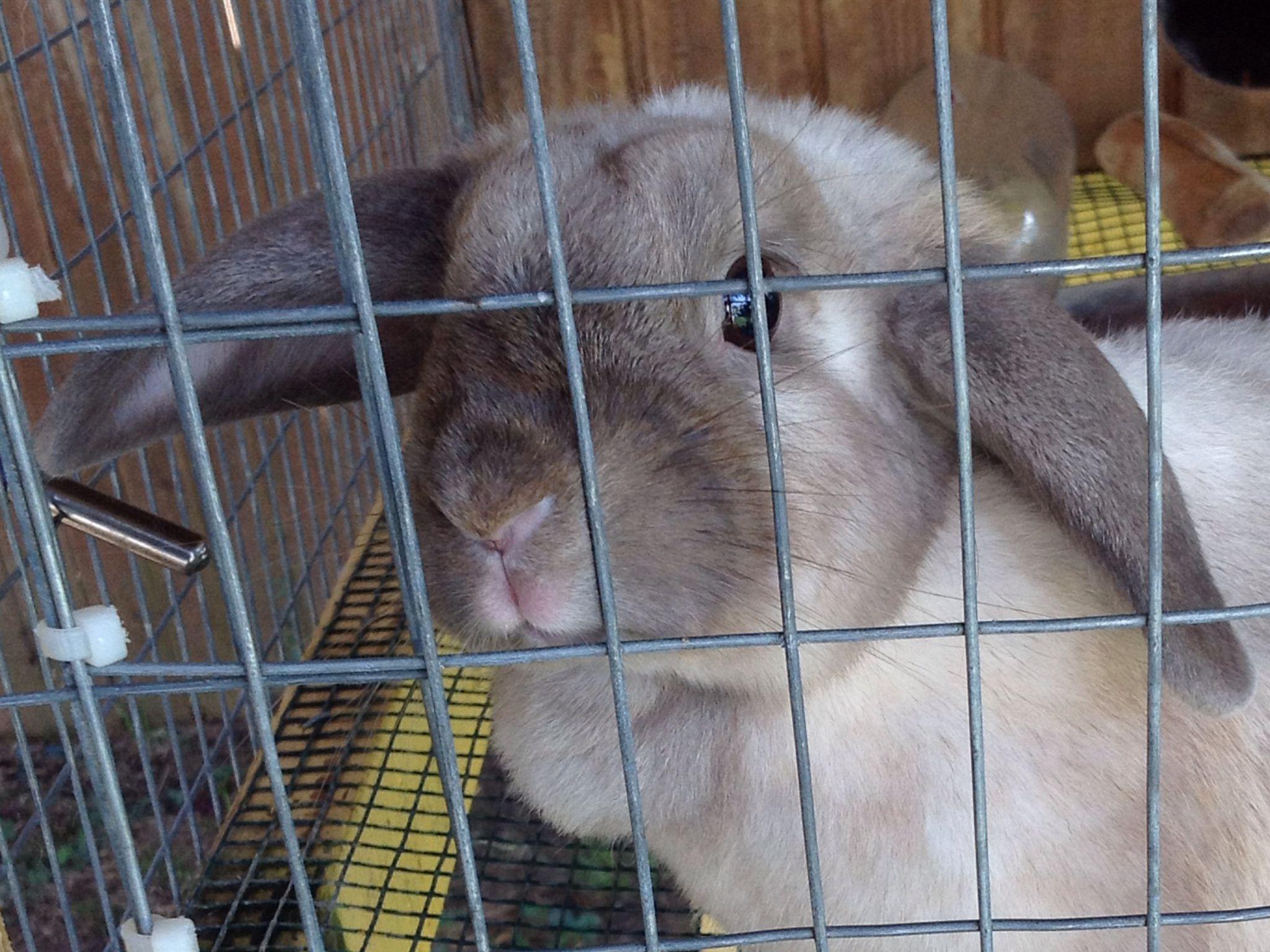 Bunny For Sale Pennsville Nj 30 Holland Lop Doe Sr Cute Bunny Pets Bunny