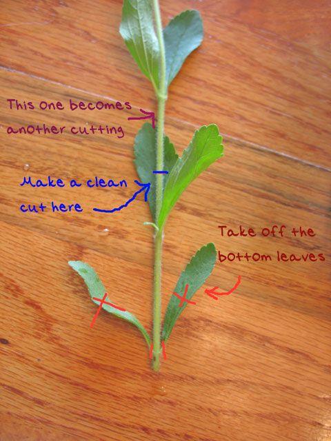 Propagating Stevia Growing Up Garden Stevia Propagation Herbs
