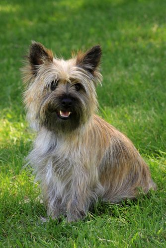 Cairn Terrier What A Black Muzzle Dog Breed Info Terrier
