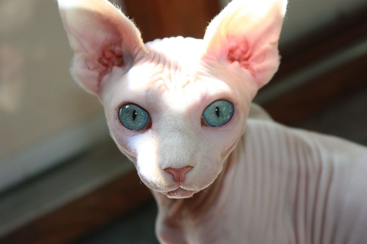 Sphynx... Or maybe a hairless cat?