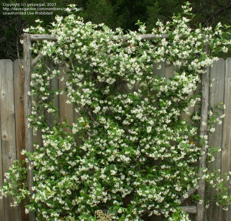 Rustic Tree Branch Trellis With Confederate Jasmine Star