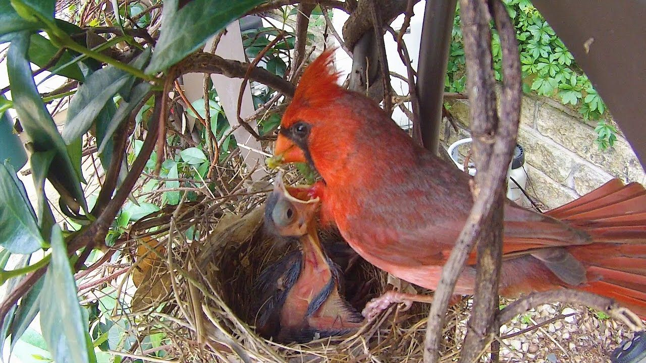 Cardinal Nest Google Search With Images Beautiful Birds