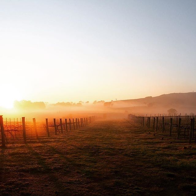 """A little mist in between the Merlot and Shiraz grafts."" We didn't think it was possible for the Canberra district wineries to get any more enticing and then we spotted this stunning photo taken by the team at @fourwindsvineyard. Well played. #visitcanberra"
