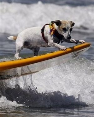 Surfing Dog Competitions Dog Contest Jack Russell