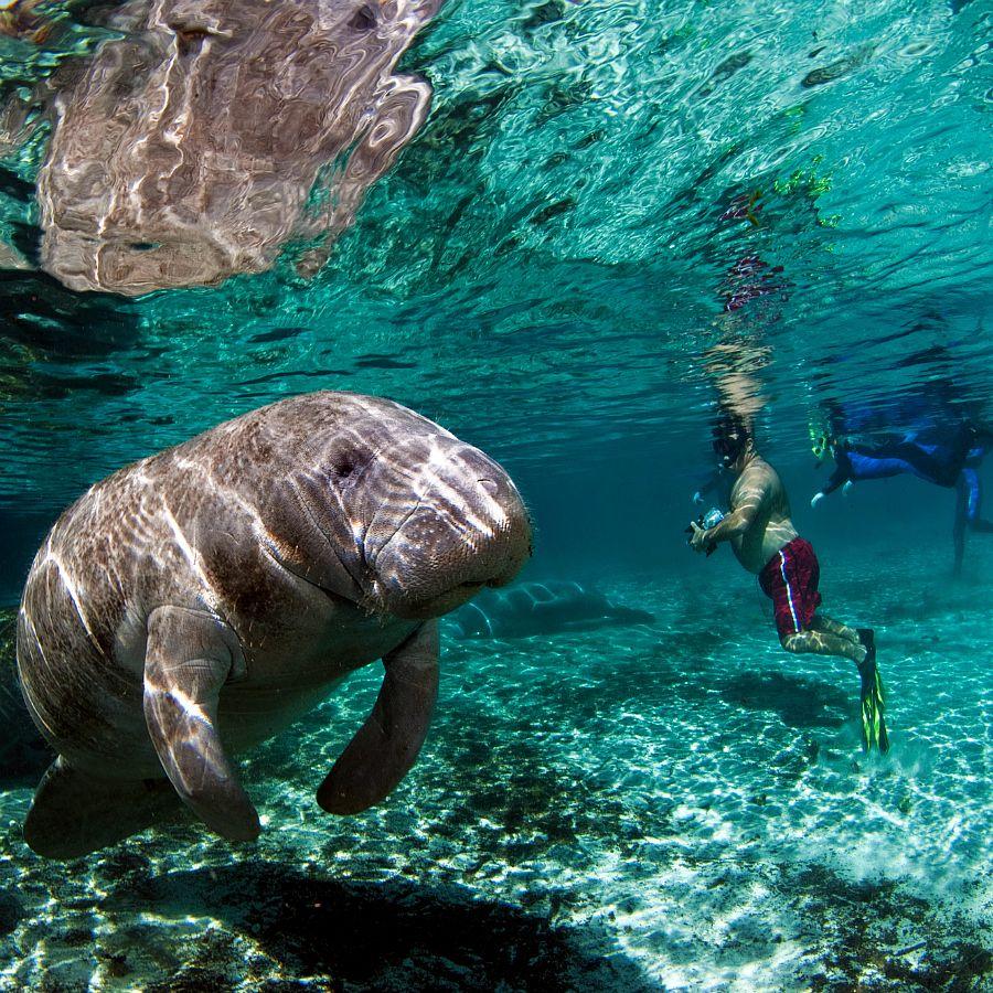 Swim With Manatees Florida S Gentle Giants Travelmamas Com Swimming With Manatees Manatee Florida Manatee