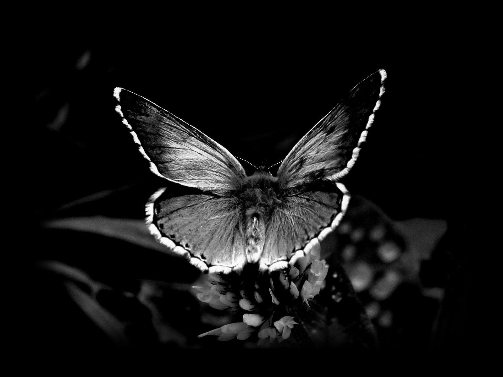 Awesome black and white butterfly wallpaper hd
