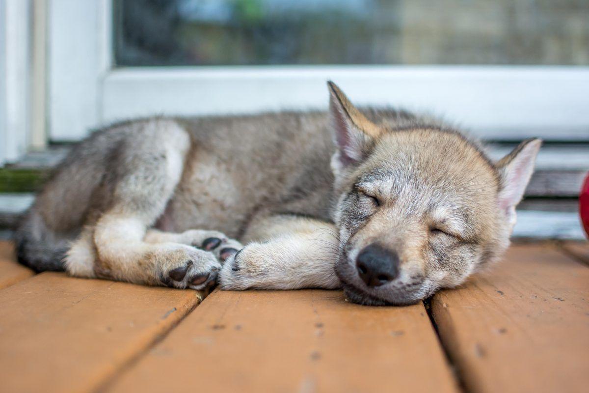 Tyrion: UKC Czechoslovakian Wolfdog puppy for sale