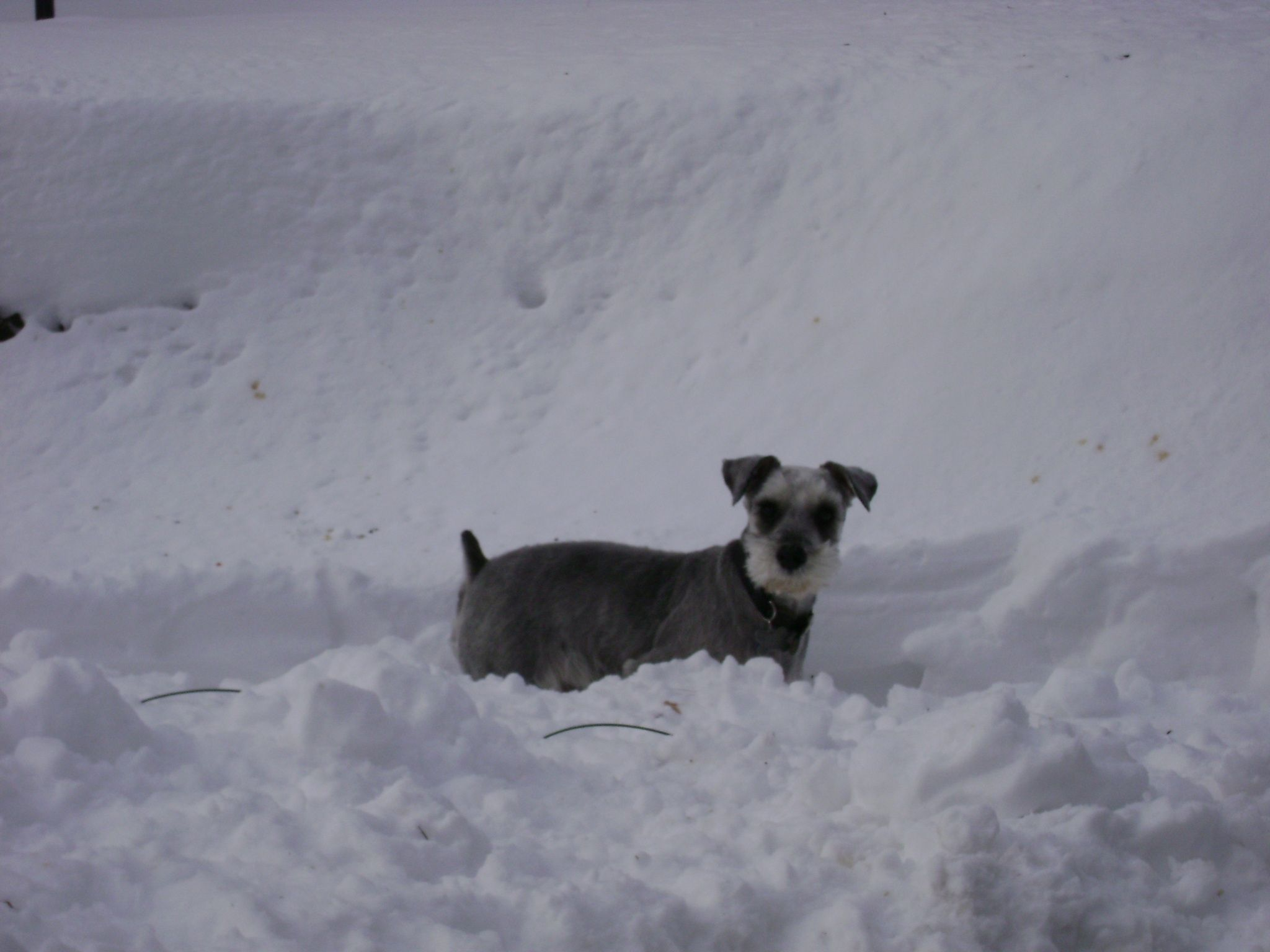 The Snow Schnauzer