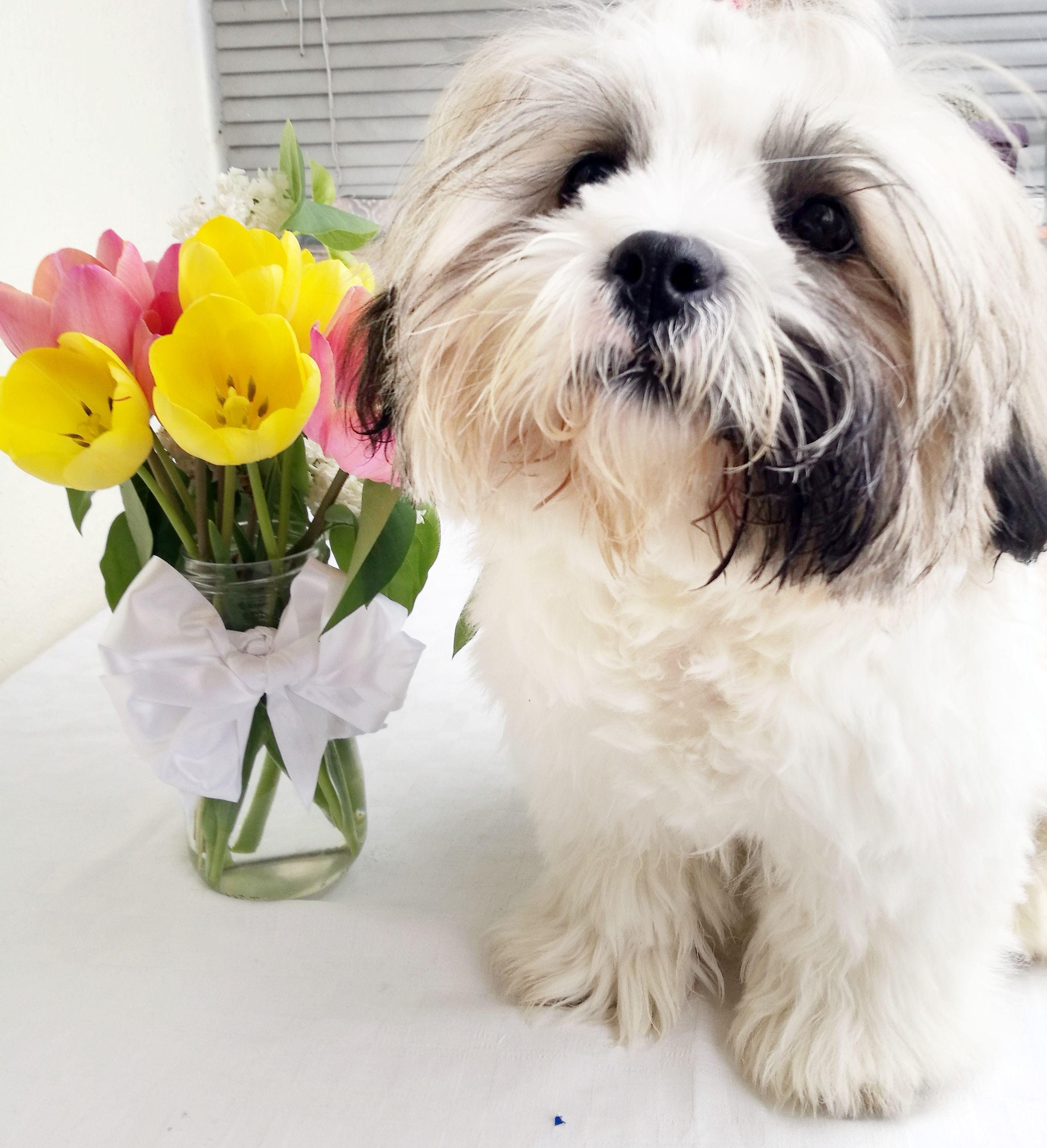 Shihtzu Shihtzu Puppy Shihtzu Haircut Shihtzu Grooming Shihtzu Pup