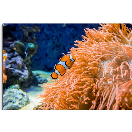 Clown Fish and Corals Photography Wall Art Poster