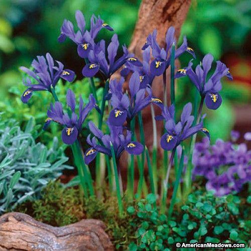 Dark Blue Specie Iris Bulb Flowers American Meadows Iris Flowers