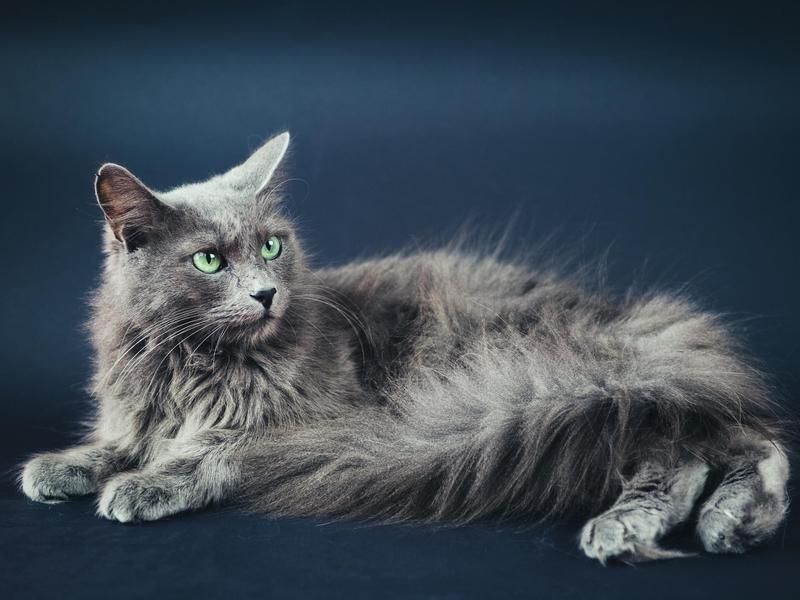 Nebelung The Long Haired Version Of The Friendly Russian Blue Breed These Cats Have A Lot Of The Same Charming Personality Grey Cat Breeds Cat Breeds Nebelung
