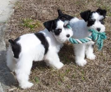 Toy Mini Schnauzer Puppies For Sale Parti Breeders Fl Akc