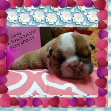 Litter Of 5 Bulldog Puppies For Sale In Laredo Tx Adn 25186 On