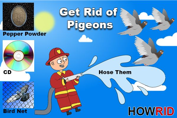 d7dde25f90446ea39bdcbc3d7ebbf890 - How To Get Rid Of Pigeons In My Barn
