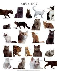 Smallest Cat Breeds List With Funny Fact And Pictures About Them More Cat Breeds List Visit My Website Cute Pret Cat Breeds Types Of Cats Small Cat Breeds