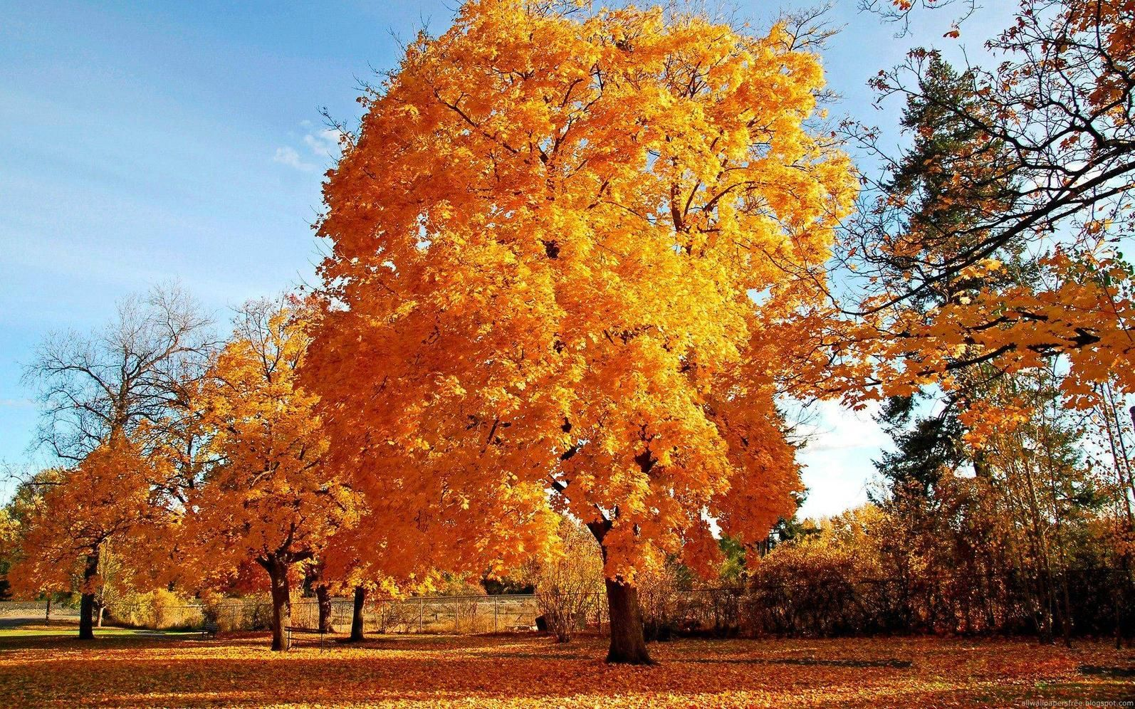 Jesen Zlatno Drvo Slike Za Desktop I Pozadinu Fall