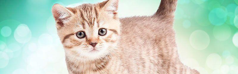 Rspca Pet Insurance Australia Pet Ownership Pets Kitten