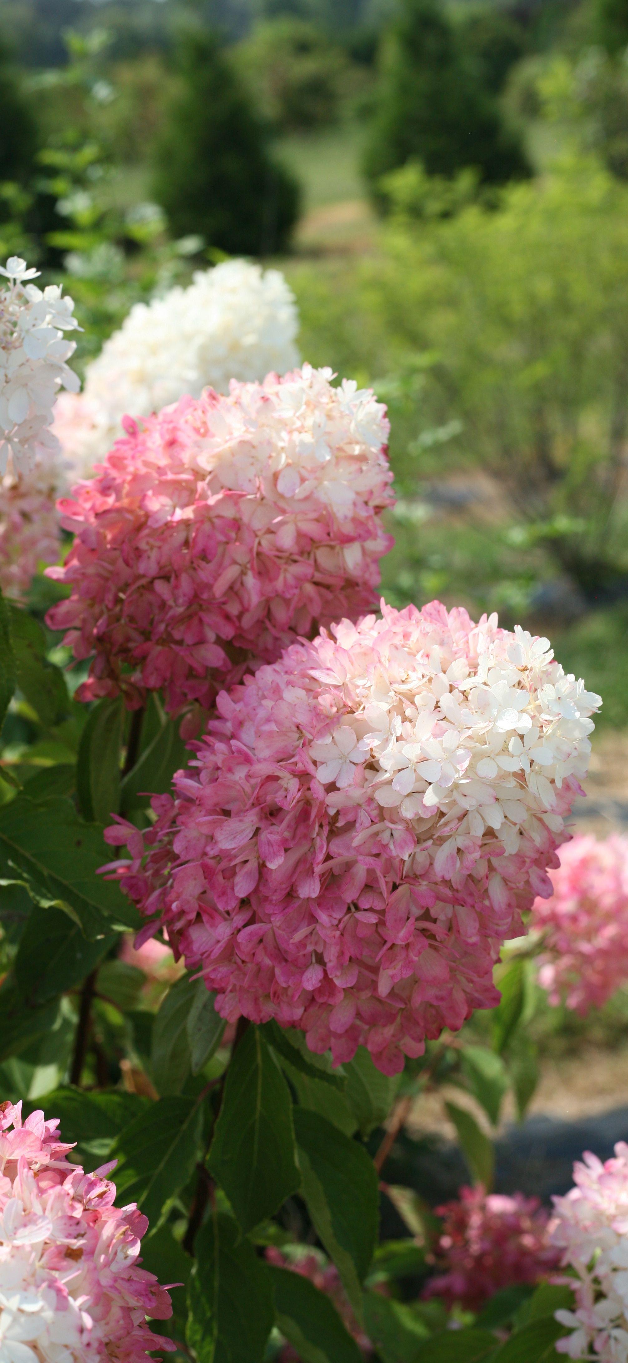 Zinfin Doll Panicle Hydrangea Hydrangea Paniculata Hydrangea Paniculata Hardy Hydrangea Bonsai Flower