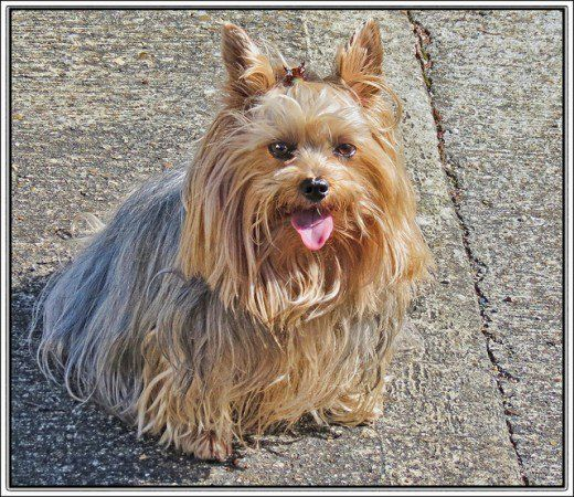 The 5 Best Tiny And Delicate Dog Breeds Tiny Dog Breeds Dogs