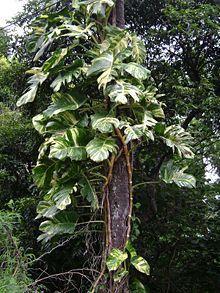 Efeututen Wikipedia Pflanzen Blattpflanzen Gartenpflanzen