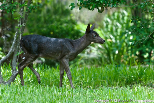 Melanistic Animals Melanistic Animals Black Deer Melanistic