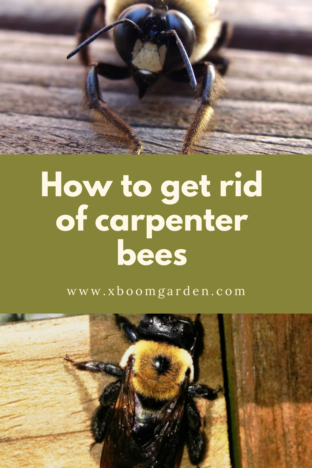 How To Get Rid Of Carpenter Bees Carpenter Bee How To Get Rid Bee