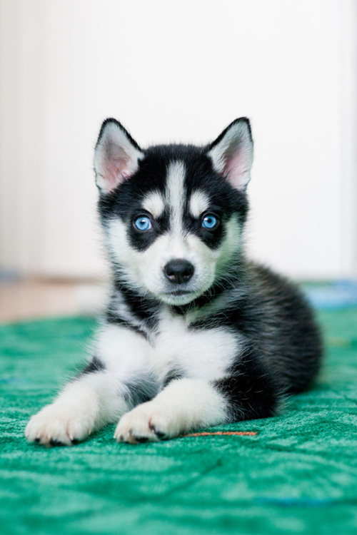 Pin By Ruth Bright Carroll On Man S Best Friend Cute Dogs Cute Husky Puppies Puppies
